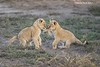 Two three cubs