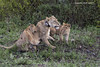 Radio collard Lioness with cubs