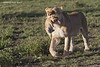 Lioness carried  this cub about a kilometer to the new hidden den. Amazing how gentle she is when carrying the cub in her mouth.