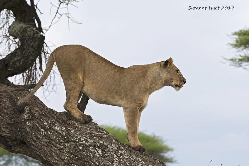 Lioness descending.