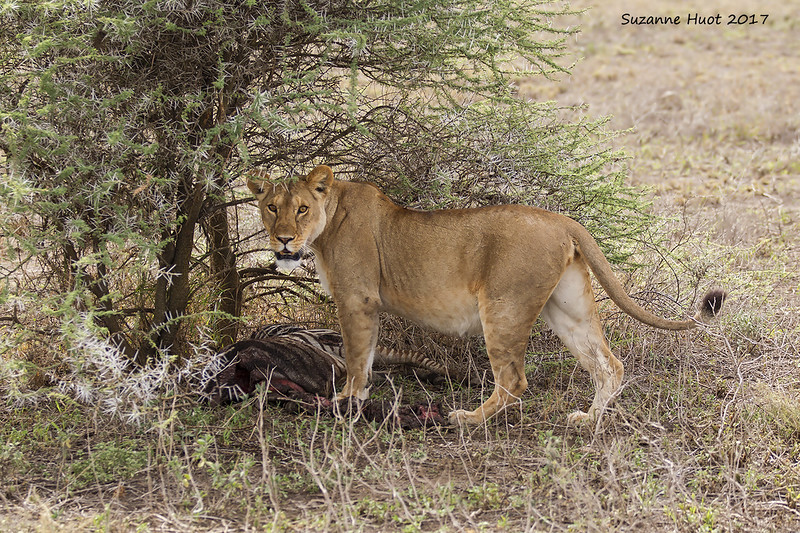 Lioness Mother with Zebra kill