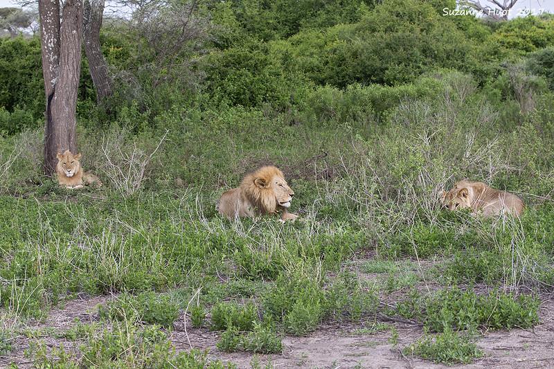 Lake Masak  lions