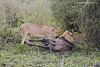 Lionesses share the killing duty