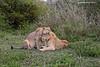 Sub adult lions.
