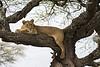 Lioness  resting.