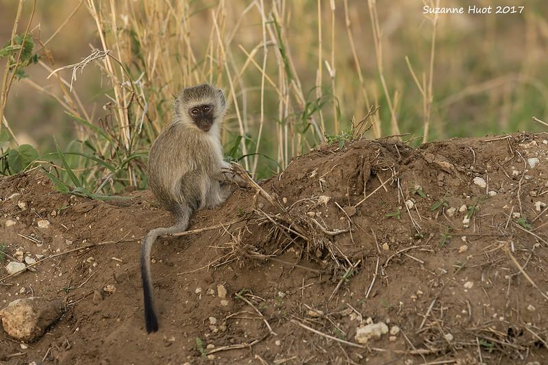 Vervet monkey  child.