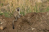 Vervet monkey  child.