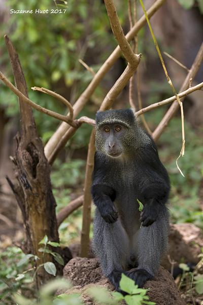 Syke's monkey