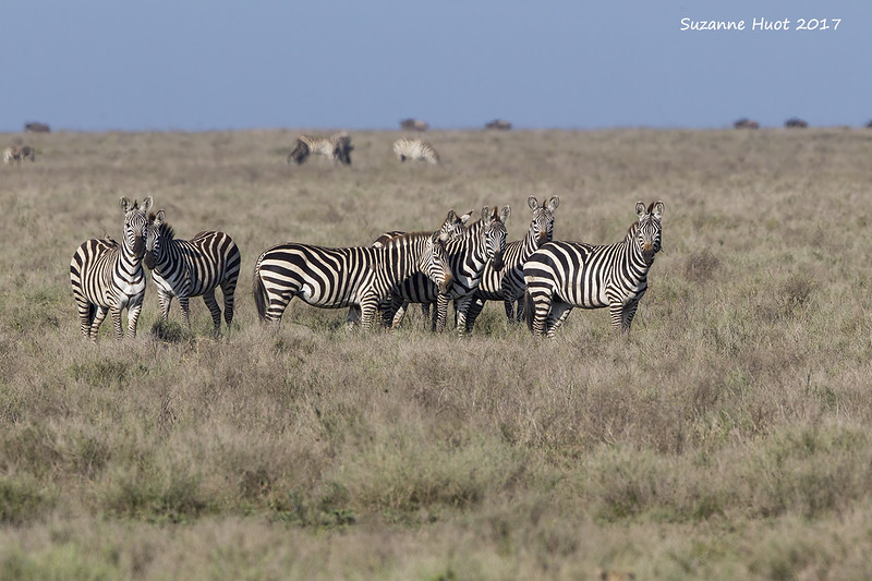 Zebras watching the Cheetah.