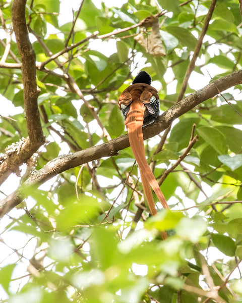12-31-16 Paradise Flycatcher - Gibbs Farm, Karatu, Tanzania-458