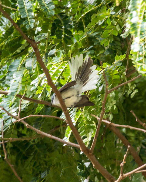 12-31-16 White-tailed Blue-flycatcher - Gibbs Farm, Karatu, Tanzania-501