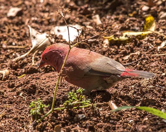 12-31-16 Red-billed Firefinch - Gibbs Farm, Karatu, Tanzania-419