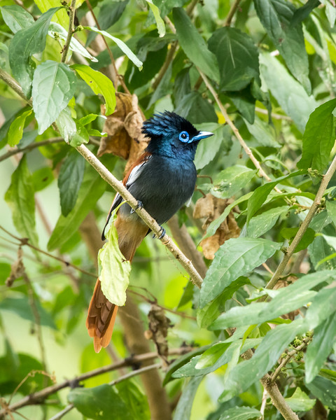 12-31-16 Paradise Flycatcher - Gibbs Farm, Karatu, Tanzania-451