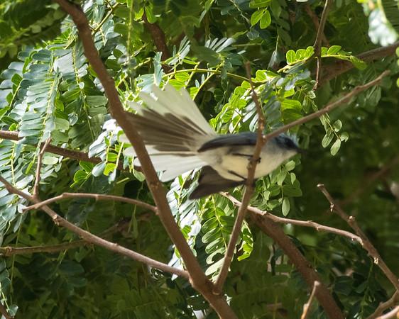 12-31-16 White-tailed Blue-flycatcher - Gibbs Farm, Karatu, Tanzania-503