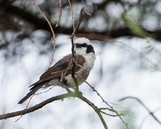 12-31-16 Northern White-crowned Shrike - Manyara Ranch, Tanzania-236