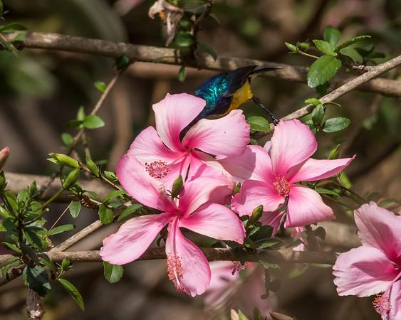 12-31-16 Variable Sunbird - Gibbs Farm, Karatu, Tanzania-472