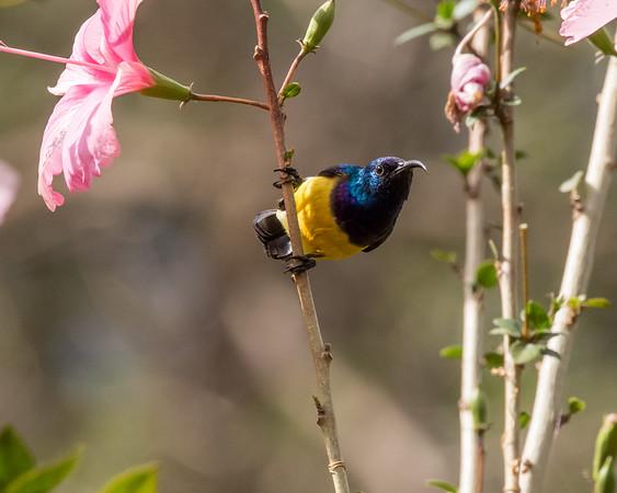 12-31-16 Variable Sunbird - Gibbs Farm, Karatu, Tanzania-468