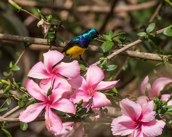 12-31-16 Variable Sunbird - Gibbs Farm, Karatu, Tanzania-475