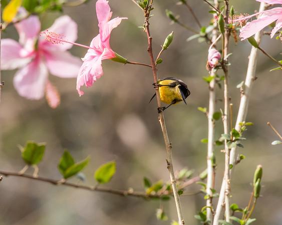 12-31-16 Variable Sunbird - Gibbs Farm, Karatu, Tanzania-461