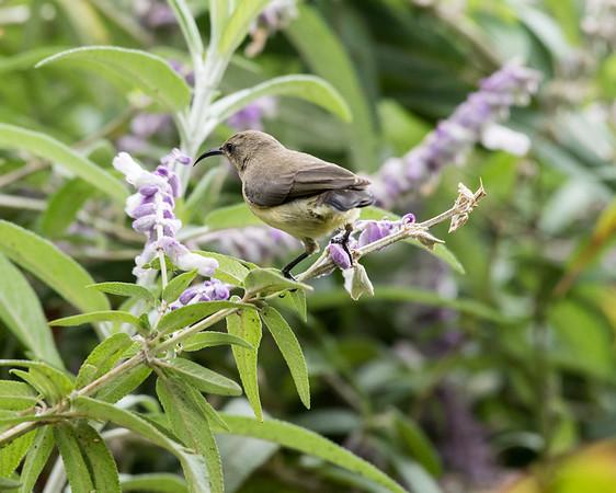 12-31-16 Sunbird - Female - Gibbs Farm, Karatu, Tanzania-303