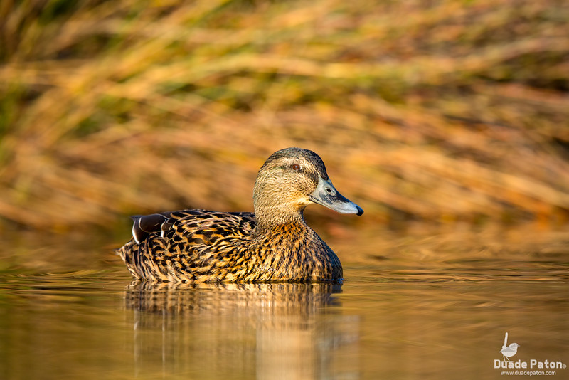 Northern Mallard (Female)