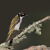 White-naped Honeyeater  (Melithreptus lunatus)