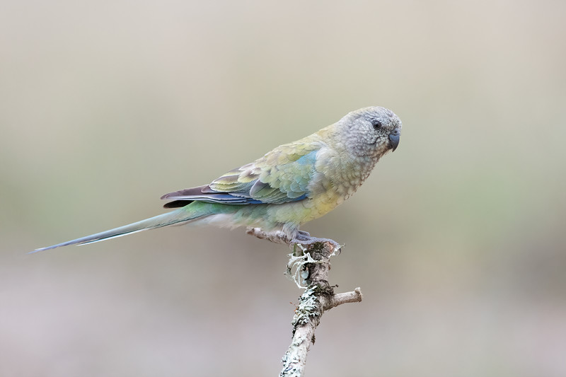 Red-rumped Parrot (Psephotus haematonotus) Female