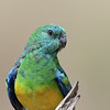 Red-rumped Parrot (Psephotus haematonotus) Male