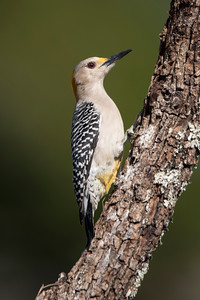 Golden-fronted Woodpecker - female - Laguna Seca Ranch - Edinburg, TX