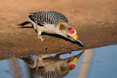 Golden-fronted Woodpecker - male - Laguna Seca Ranch - Edinburg, TX
