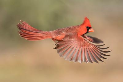 Northern Cardinal - male - Laguna Seca Ranch - Edinburg, TX