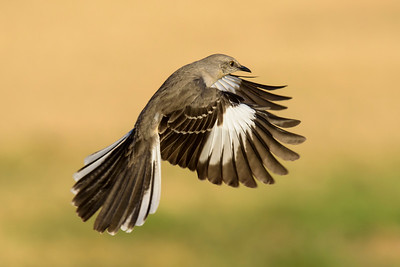 Northern Mockingbird - Laguna Seca Ranch - Edinburg, TX