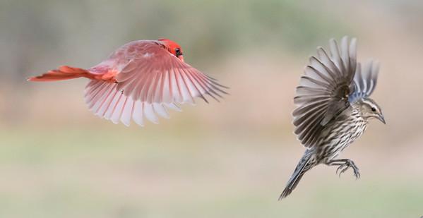 Northern Cardinal - male - Red-winged Blackbird - female - Laguna Seca Ranch - Edinburg, TX