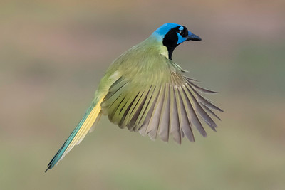 Green Jay - Laguna Seca Ranch - Edinburg, TX