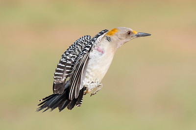 Golden-fronted Woodpecker - Laguna Seca Ranch - Edinburg, TX