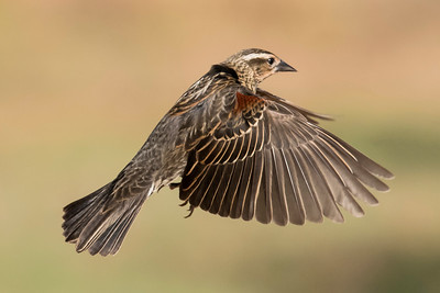 Red-winged Blackbird - female - Laguna Seca Ranch - Edinburg, TX