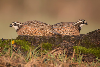 Northern Bobwhite - 2 males - Laguna Seca Ranch - Edinburg, TX