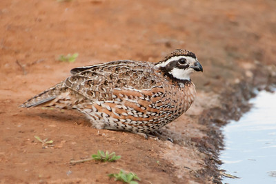 Northern Bobwhite - male - Laguna Seca Ranch - Edinburg, TX
