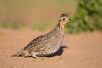 Northern Bobwhite - female - Laguna Seca Ranch - Edinburg, TX