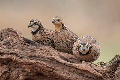 Northern Bobwhite - group - Laguna Seca Ranch - Edinburg, TX