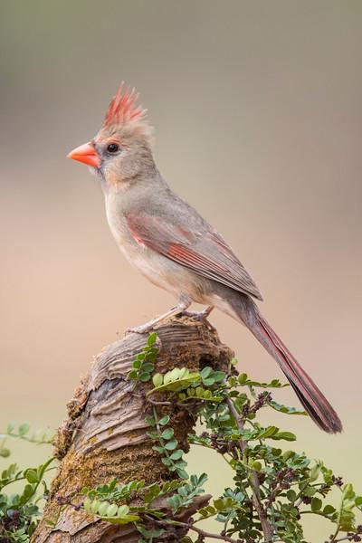Northern Cardinal - female - Laguna Seca Ranch - Edinburg, TX