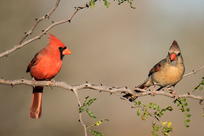 Northern Cardinal -male and female - Laguna Seca Ranch - Edinburg, TX