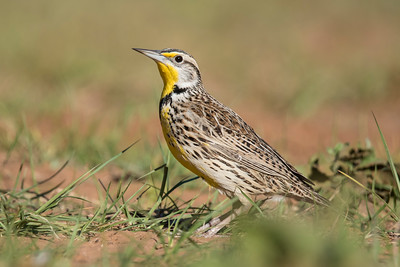 Meadowlark - Laguna Seca Ranch - Edinburg, TX