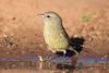 Orange-crowned Warbler - Laguna Seca Ranch - Edinburg, TX