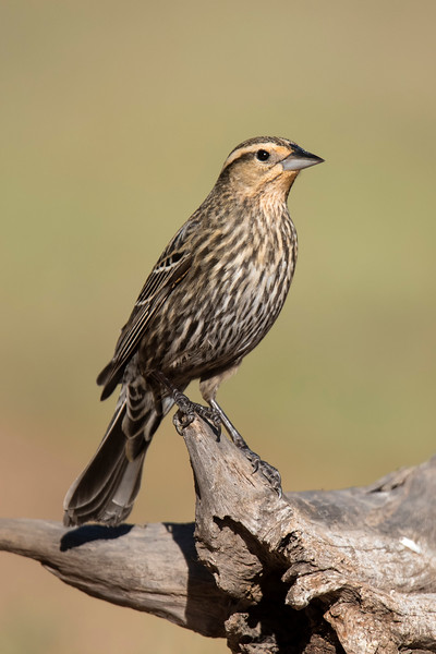 Red-winged Blackbird - female - Laguna Seca Ranch - Edinburg, TX
