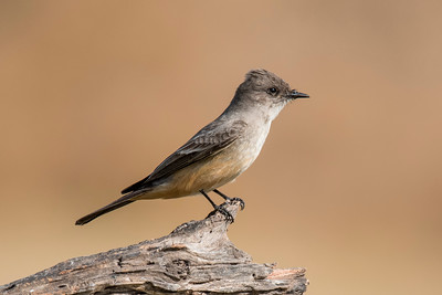 Say's Phoebe - Laguna Seca Ranch - Edinburg, TX