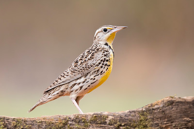 Meadowlark - Laguna Seca Ranch - Edinburg, TX