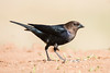 Brown-headed Cowbird - male - Laguna Seca Ranch - Edinburg, TX