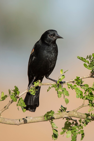 Red-winged Blackbird - male - Laguna Seca Ranch - Edinburg, TX