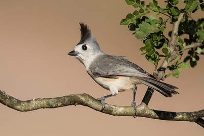 Black-crested Titmouse - Laguna Seca Ranch - Edinburg, TX